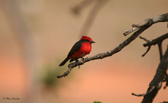 Srie com o Joozinho casamenteiro, Prncipe ou Vero (Pyrocephalus rubinus) - Vermillion Flycatcher - Turtupiln, Churrinche (Argentina), Mosquero Bermelln, Saca-tu-Real (Chile) - 17-08-2008 - IMG_20080817_9999_183 (Flvio Cruvinel Brando) Tags: red brazil naturaleza color bird nature colors birds braslia brasil cores rojo lovely1 natureza passarinho pssaro aves vermelho ave series vero prncipe cor pssaros srie vermillion birdwatcher flycatcher naturesfinest pyrocephalusrubinus vermillionflycatcher joozinho vermelhoepreto pyrocephalus rubinus sries flickrsbest churrinche mosquero sacatureal casamenteiro churrinches anawesomeshot aplusphoto avianexcellence theunforgettablepictures bermelln naturewatcher turtupiln flviobrando theperfectphotographer mosquerobermelln salveanatureza planetaterraeseusanimaisincrveis turtupilns passionateinpirations joozinhocasamenteiro