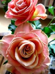 last roses of summer? (365 - 85) (venetia 27) Tags: pink light home again oxford fading oldroses oramijustbeingpessimistic asitissupposedtorainallweek