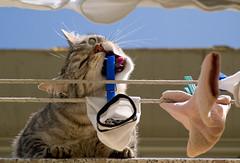 Anche lei si guadagna da vivere... (Topyti) Tags: cat gatto gatti calze ciccia stendere cc100