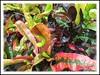 Very colorful leaves of Croton 'Hadd-ra-wai', seen around the neighbourhood