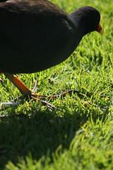 Morning walk 5/9/2008 (Lea Barnes) Tags: birds swans cygnets waterbirds