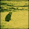 Beach cat (manganite) Tags: california summer usa cats green beach nature topf25 animals yellow strand digital america square geotagged sand nikon seasons tl framed playa malibu duotone d200 nikkor dslr toned malibulagoonstatebeach 18200mmf3556 utatafeature manganite nikonstunninggallery repost1 date:year=2008 date:month=july date:day=20 geo:lat=34033048 geo:lon=118679348 format:orientation=square format:ratio=11 repost2 repost3
