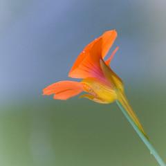 (-CyRiL-) Tags: macro fleur vegetal carré capucine supershot abigfave cyrilbkl