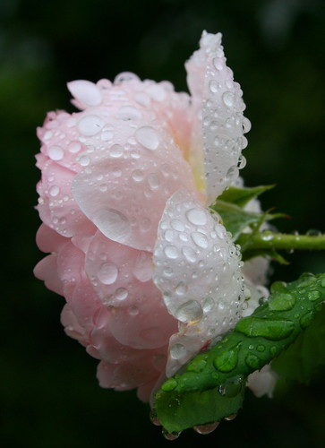 raindrops on roses / Michele