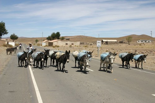 Caravan of mules - now on asphalt!