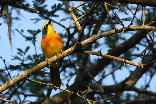 Orange-breasted bush-shrike by johanvrensburg.