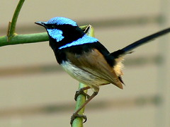 A Jaunty Superb Blue Wren (ianmichaelthomas) Tags: friends birds wrens parrots lorikeets birdwatcher smorgasbord latrobeuniversity fairywrens specanimal goldenmix australiannativebirds wildlifeofaustralia worldofanimals auselite naturewatcher wonderfulworldmix bundooravictoriaaustralia qualitypixels llovemypics flickrlovers wildandfree vosplusbellesphotos superbbluefairywren fairywrensanimaladdiction flickrsbestcreatures