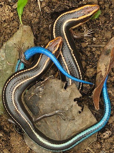 Blue Tailed Skinks in Love in Hong Kong