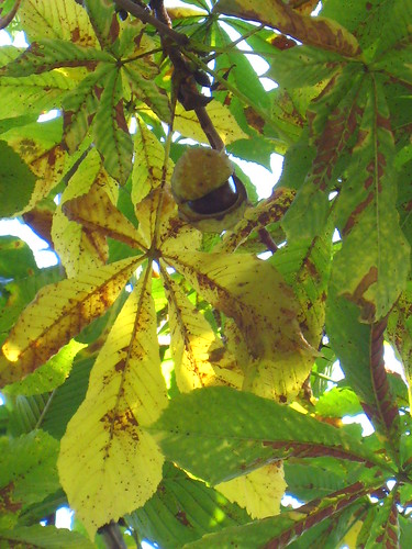 Chestnut Tree, Zug, Switzerland