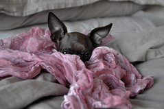 peek a boo...... (girlfrench) Tags: dog pet chihuahua cute animal ligthroomm