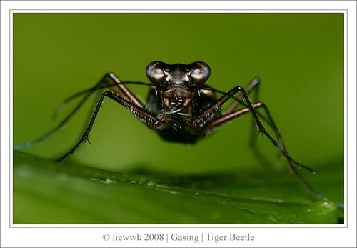 2.7 Tiger Beetle 深山小虎甲   ... Portrait
