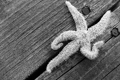 Starfish, Seestern (jbkfotos) Tags: wood sea bw lake canada ice water see blackwhite wasser frost novascotia 5 five nail atlantic diagonal brett capebreton sw tau holz eis cristal nagel seastar kanada atlantik kristall fünf seestern ozean neuschottland schwarzweis eiskristall icecristal