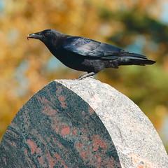 American Crow, Oak Hill Cemetery 1 (jpmatth) Tags: autumn color bird 20d cemetery grave animal stone digital canon eos lenstagged illinois crow 2008 taylorville americancrow oakhillcemetery tamron14xspaftc ef300mm40lis