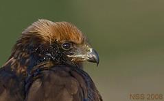 (N-S-S) Tags: bird birds nikon sigma 300mm 28 kuwait nikkor   nasser 800mm d300  nss   vwc   specanimal  d2xs     kvwc    alsolihem