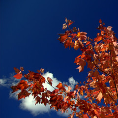 Happy Monday Blues! (Dave the Haligonian) Tags: blue autumn red sky color colour tree fall leaves clouds square leaf maple crop hmb hbm happymondayblues happybluemonday haveagreatweekmyfriends nkn6666nef