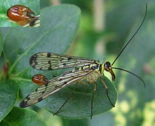 Panorpa germanica (mâle)