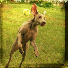 f u n n y . b u n n y (saikiishiki) Tags: dog chien playing silly cute texture love face thanks ball square fun happy grey for hilarious jump eyes backyard funny expression ghost gray hound adorable ears hond perro hund again weimaraner kawaii confused hmmm perra inu omoshiroi weim mukha yaay vorstehhund 20f mywinners thelittledoglaughed platinumphoto jaiel waimarana