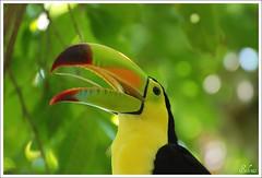 Tucano (selenis) Tags: bird méxico nikon searchthebest playadelcarmen pássaro ave aviary 2008 tucano d80 xamanha abigfave aviário