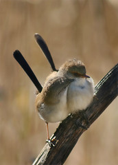 30 Days of Gratitude- Day 28 (aussiegall) Tags: bird australian feathers wren fairywren