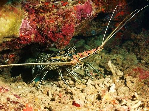 Lobster under coral