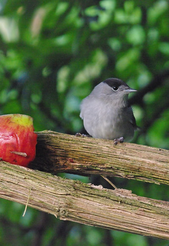 Dawn Blackcap