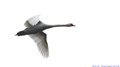 Which way is South???.... (law_keven) Tags: england bird birds swan flight feathers essex dedham muteswan feathery explore500 anawesomeshot