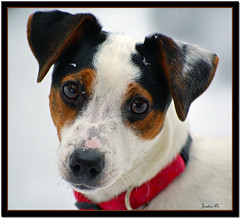 Snow Puppy (Carplips) Tags: brown white black puppy snowflakes jrt chloe jackrussellterrier