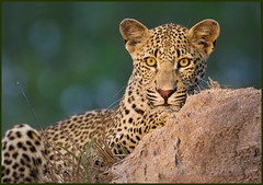 Here's to 2009.. (hvhe1) Tags: africa nature animal southafrica bravo wildlife leopard interestingness2 naturesfinest malamalagamereserve malamala specanimal animalkingdomelite hvhe1 hennievanheerden visiongroup rattrays vosplusbellesphotos