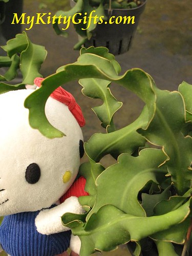 Hello Kitty's View of Curly-leaf Plant in Orchid Trip Hong Kong