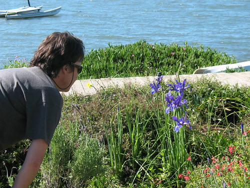 iris in bloom at back bay, los osos, ca