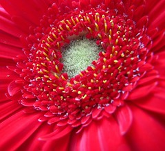 Day 124 - It's been a heck of a day (Sharon's Shotz) Tags: red macro canon gerbera freshcutflowers flowersinvases canons5is 2009yip myslrisinthehospital mydogisgoingintothehospital canistarttheweekover