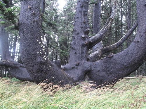pacific northwest tree octopus hoax. pacific The+octopus+tree