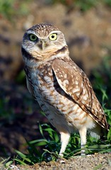 Burrowing Owl (birding4ever) Tags: 5 athenecunicularia burrowingowl naturesspirit feathersbeaks ourwonderfulandfragileworld avianexcellence soarinnaturesspirit naturescarousel thesunshinegroup damniwishidtakenthat colorsoftheheart sjohnsonsfaunahighqualityimagesonly ngc naturesgoldencarousel sunrays5 showcaseforsoarinnaturesspirit specanimal dreamsilldream coth5 bestofdamniwishidtakenthat npc naturesplatinumcarousel arborsquareanaturegroup amazingimpressionsofnature birdsbirdsonlybirds worldnatureandwildlifehalloffame worldnatureandwildlifeplatinumgroup illuminationsinthewild powerofphotographylevel1 powerofphotographylevel2 powerofphotographylevel3 powerofphotographylevel4 powerofphotographylevel5 naturesgarden thenaturessoul thenaturessoulelite naturesgardenplatinum everythinggoodinnature everythinggoodinnaturepremium