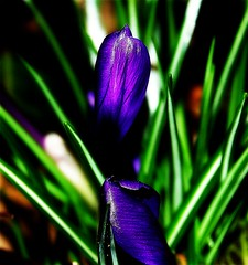 Spring Can't Come Too Soon I (mightyquinninwky) Tags: flowers green march purple kentucky crocus lexingtonky fayettecountyky springflowers picnik purplegreen fontaineroad purplegreengroup konicaminoltadimagea1