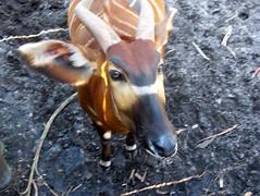 Hello Bongo (SassySara) Tags: hello brown white nature animal zoo florida wildlife bongo horns jacksonville jacksonvillezoo eyetoeye
