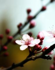 Plum blossom orton (jodi_tripp) Tags: flower detail dof blossom bokeh plum orton joditripp challengeyouwinner challengyouwinner spring2008 wwwjoditrippcom photographybyjodtripp