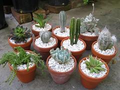 Cactus & Succulent (joeysplanting) Tags: cactus terracotta succulents