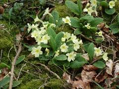 DSC03871 (edwardsgt) Tags: uk flowers tring primroses