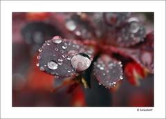 Burgundy Rain (karinatwork) Tags: flower macro closeup dof bokeh burgundy 60mm afs diamondclassphotographer flickrdiamond