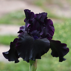 Iris 'Superstition' (wendymerle) Tags: iris superstition bearded perennial germaniris iridaceae rhizomatous   irissuperstition