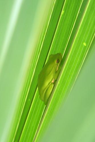 Froggie_sm