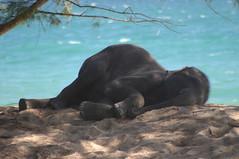 Beach Bum, Phuket, Thailand (Ben Ward In Hove) Tags: sea vacation holiday elephant beach canon relax sand brighton hove pachyderm ivory culture bum fave trunk relaxation favourite chill cultural tusks sunbathe benward casurina benwardinhove benedictward