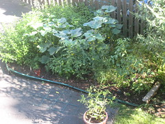 main vegetable patch