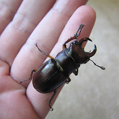I Won't Let Go! (zxgirl) Tags: bug insect awesome beetle insects bugs huge beetles mybackyard stagbeetle coleoptera lucanidae stagbeetles lucanus lucanuscapreolus reddishbrownstagbeetle polyphaga scarabaeoidea img6470c
