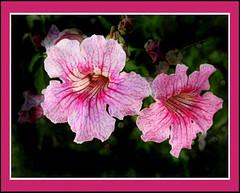 Mostrando su Belleza @ Jovisur (jovisur) Tags: flor su soe belleza mostrando frescura cherryontop supershot platinumphoto ysplix goldstaraward excellentsflowers jovisur