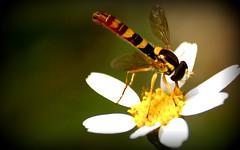 Mosca cernidora (pensaba q era una avispa) (Cloud_400d) Tags: flower flor colores amarillo alas insecto avispa floare viespe fotoscloud ltytr2 ltytr1 ltytr3