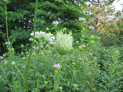Queen Anne's Lace flower head