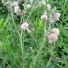 Fuzzy Thistle seed heads