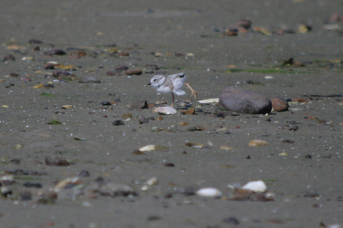 Piping Plover Young