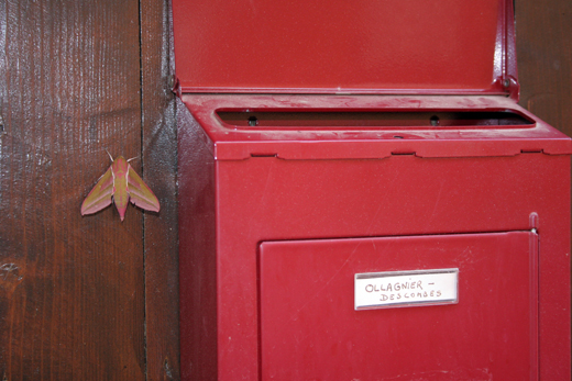25_juillet_papillon_cameleon_1861